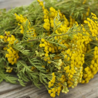 Land of Tansy